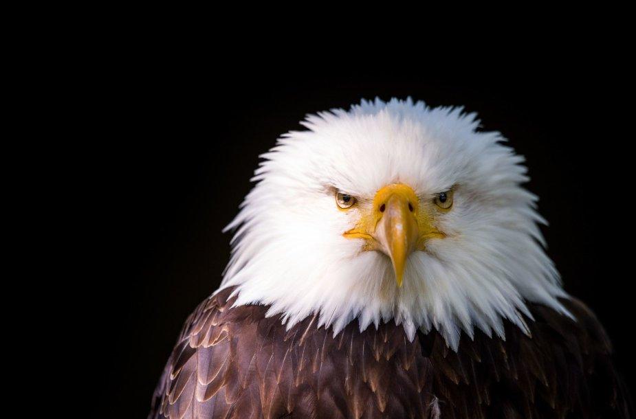 Baltagalvis erelis – JAV nacionalinis paukštis