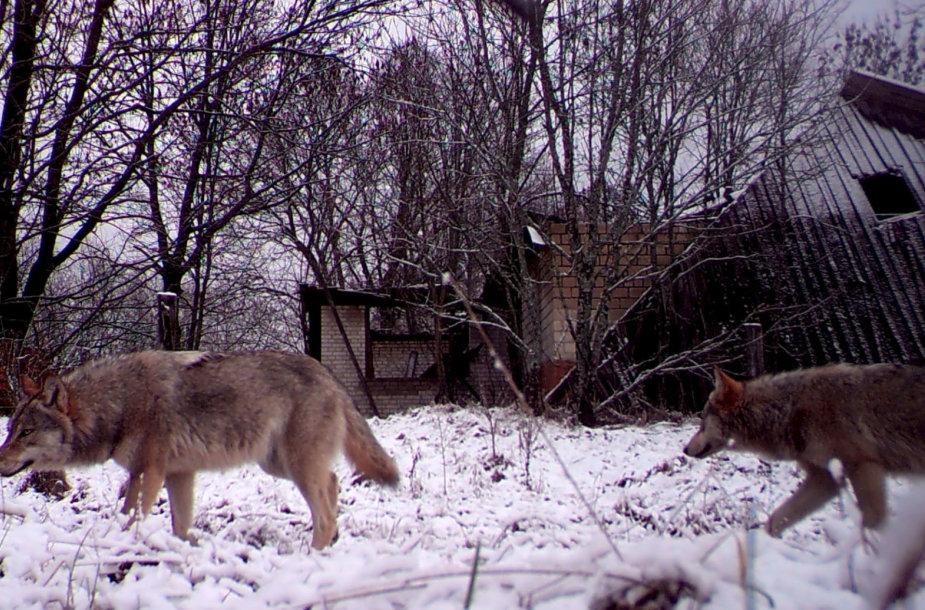 Vilkai, gyvenantys Černobylio apsaugos zonoje