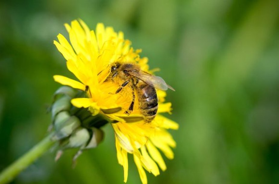 Bitė renka nektarą