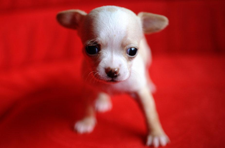 Čihuahua šuniukas