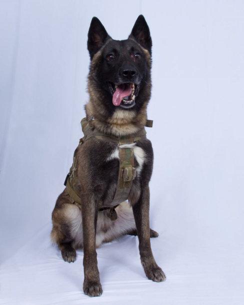 Per JAV pajėgų reidą sužeistas kariuomenės šuo Konanas