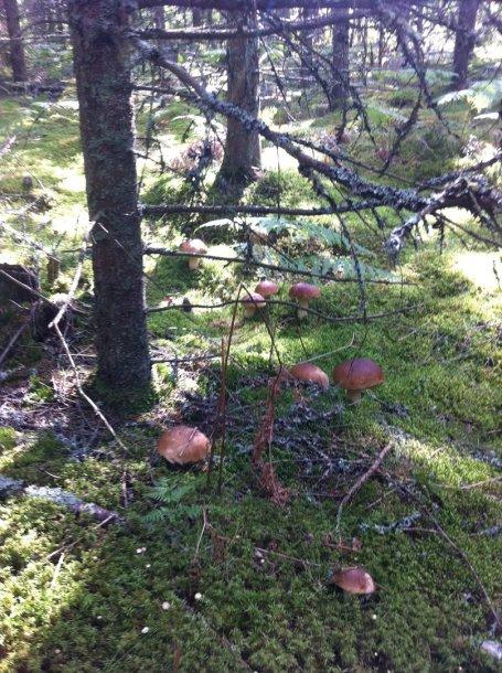 Baravykų rojus Švedijoje