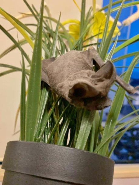 Į kaunietės namus įskridęs šikšnosparnis slėpėsi gėlėje.