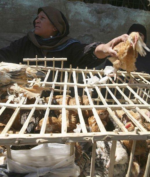 Pirmasis paukščių gripo atvejis Egipte buvo užfiksuotas 2006 metais.