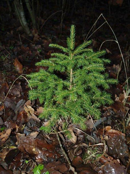 Mažiausia Kalėdų eglutė bus įžiebta Plungės rajone.