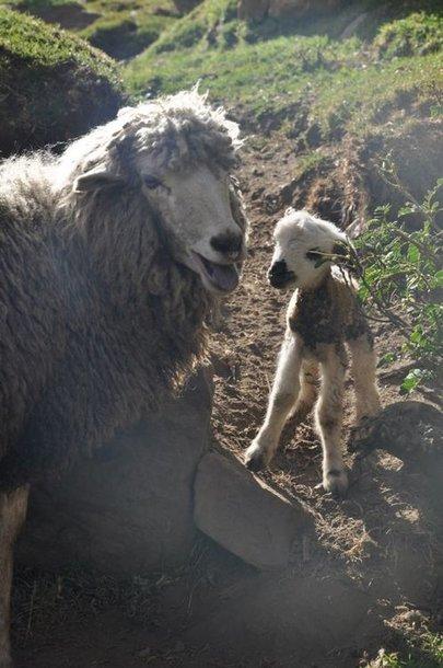 Ką tik gimęs ėriukas
