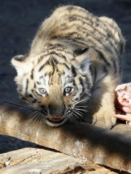 Amūro tigrai yra nykstanti rūšis.