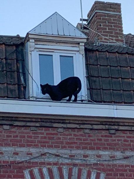 Prancūzijoje, Lilyje, sugauta ant namų stogų klaidžiojusi juodoji pantera