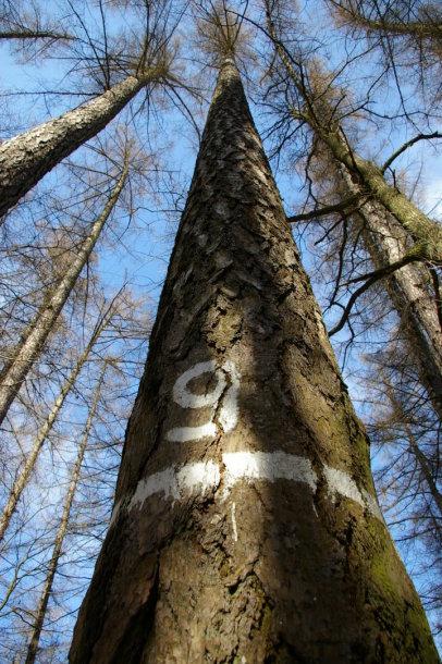 Aukščiausias Lietuvos medis – Degsnės miško maumedis