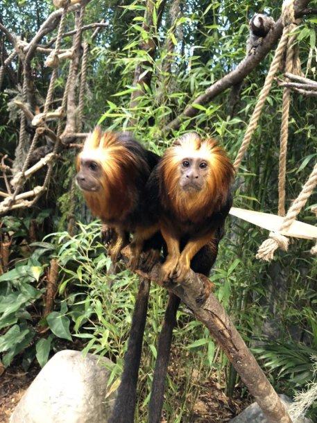 Auksagalvės liūtbeždžionės